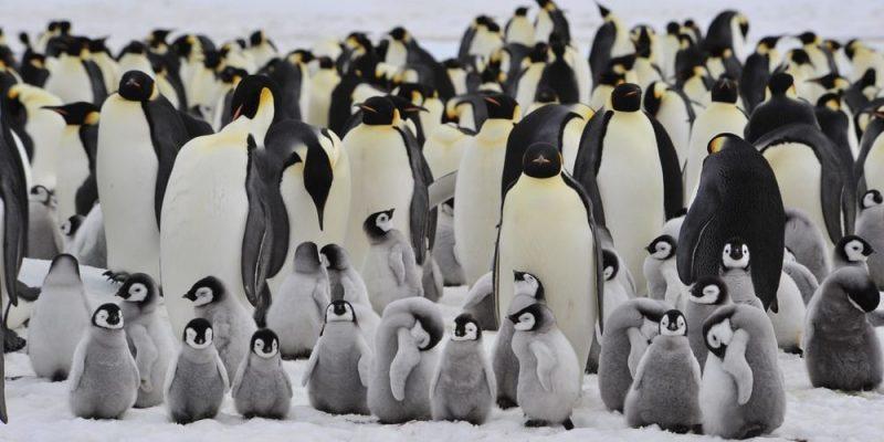 pinguino reproduccion