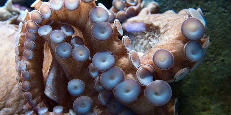 pulpo tentaculos