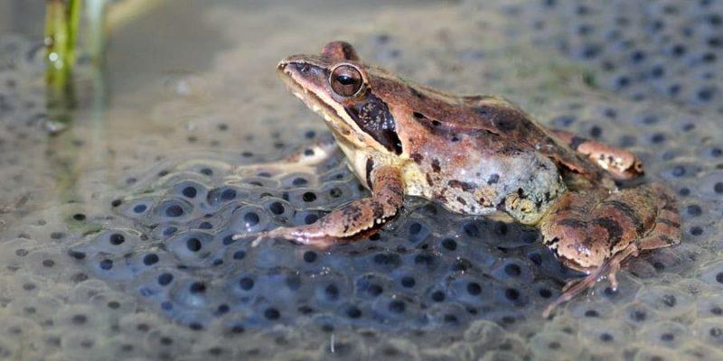 ranas reproduccion