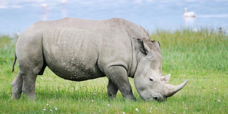 rinoceronte alimentacion
