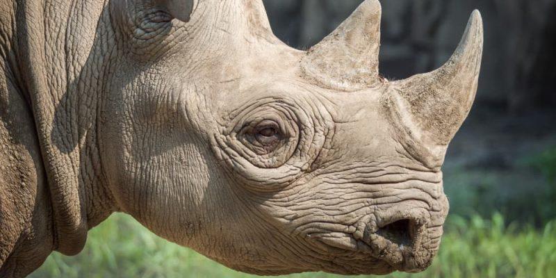 rinoceronte caracteristicas piel