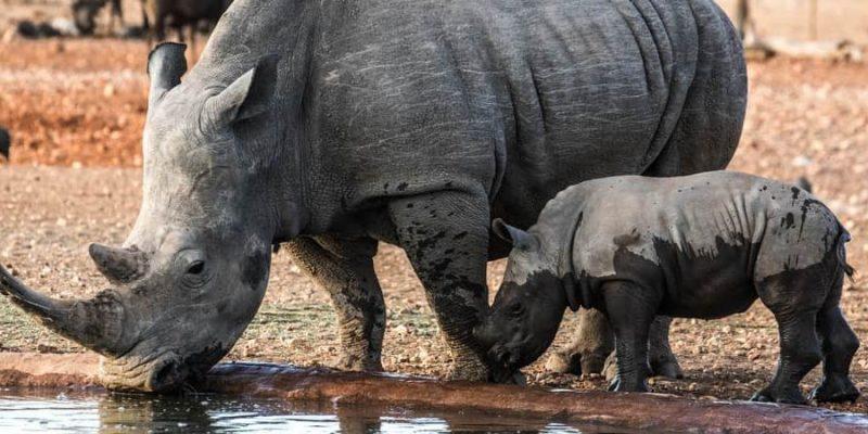 rinoceronte reproduccion