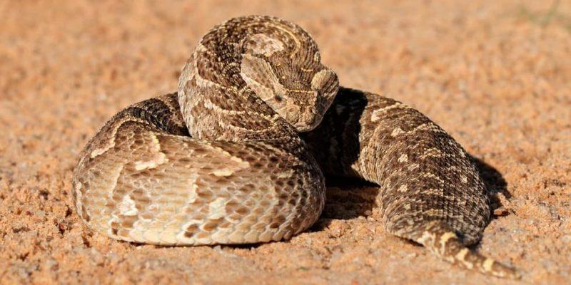 serpiente bufadora venenosa
