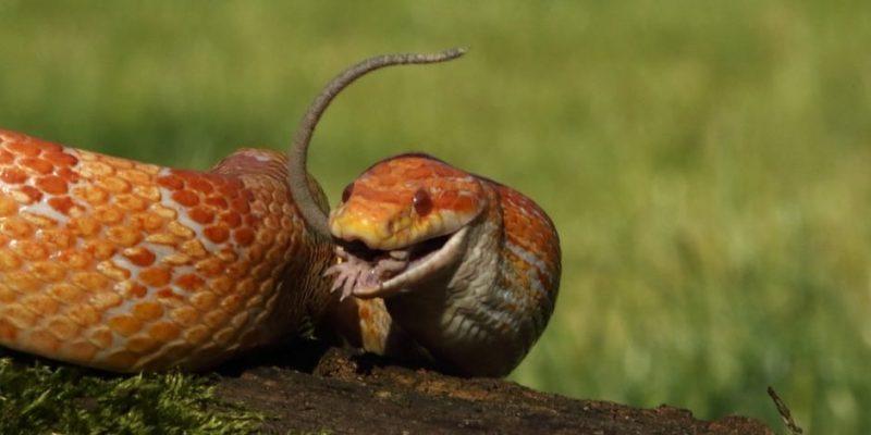 serpiente que comen alimentacion
